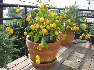 Лимон с плодами