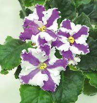 Фиолетово-белая комнатная фиалка