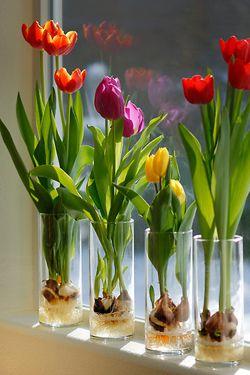 Как выращивают тюльпаны в условиях дома