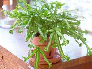 Тенелюбивые комнатные цветы - Птерис Критский