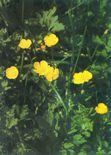 Ranunculus-1