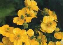 Ranunculus-cortusifolius