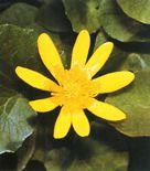Ranunculus-ficaria