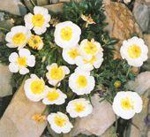 Ranunculus-segueri
