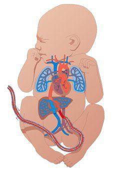 50-krovoobrashhenie-novorozhdennogo-2