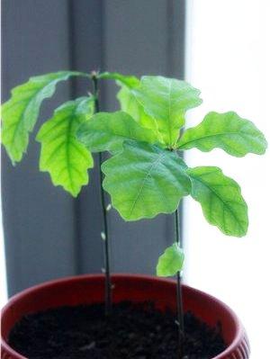 Почва для выращивания дуба 52